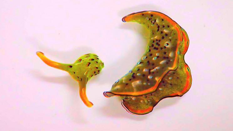These Sea Slugs Can Sever Their Own Heads and Regenerate Fresh New Bodies
