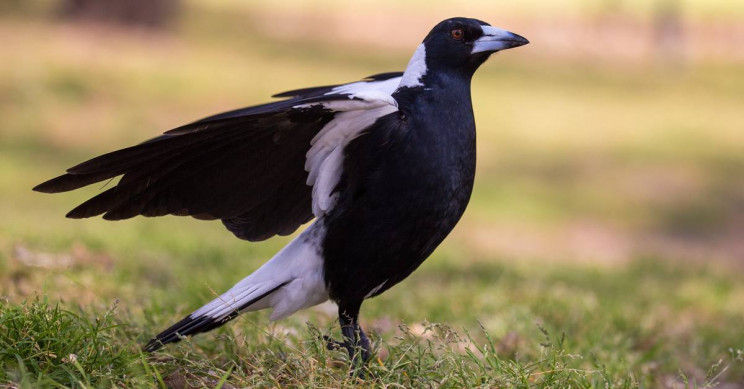 A Magpie in Australia Mimics Emergency Responder Sirens Because Things Are That Bad