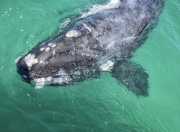 Rare Right Whale Has Been Recorded Singing for the Very First Time