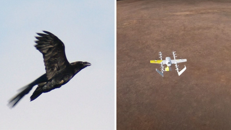 Watch a Raven Attack a Delivery Drone in Australia