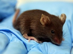 New Study Creates Embryo Stem Cells from Skin Cells in Mice