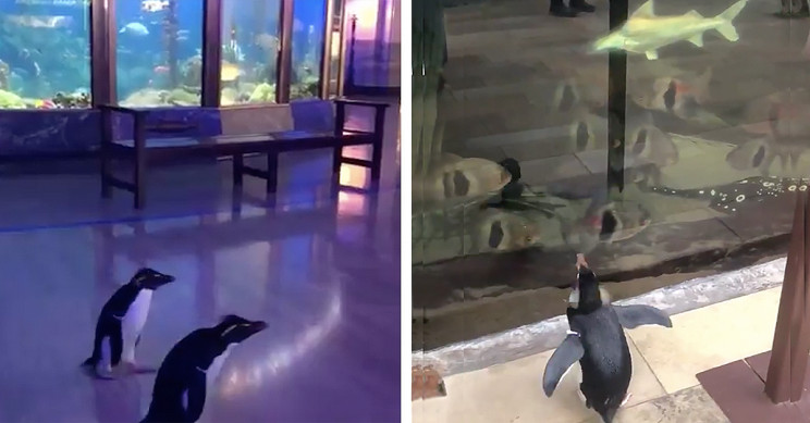 Viral: Penguins Visit Other Animals At Aquarium Shut Due To Coronavirus