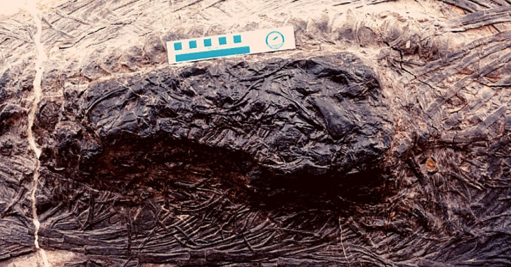 Colossal Triassic Reptile Died After Eating Massive Lizard