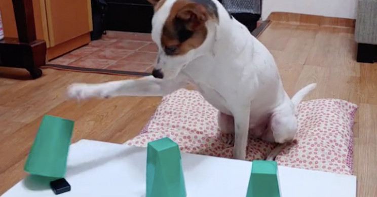 Smart Wee Dog Can't Be Tricked by Its Owner's Magic Trick