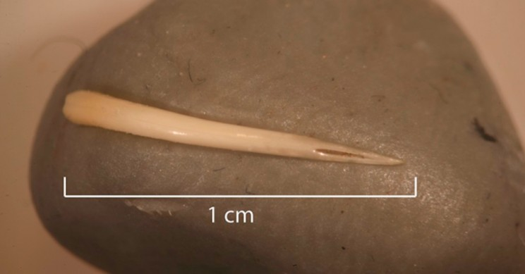 Whole Snake Including Fangs Discovered in 1500 Year Old Human Poop
