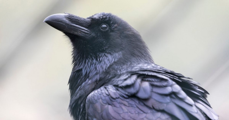 Crows Think and Solve Problems Just Like Humans