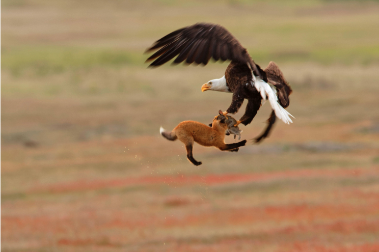 A Bald Eagle makes off with a fox's dinner, and the fox too, in San Juan National Historical Park.