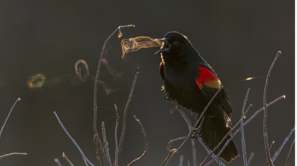 Smoke Signals: Blackbird's Breath Snags the Audubon Award for 2019
