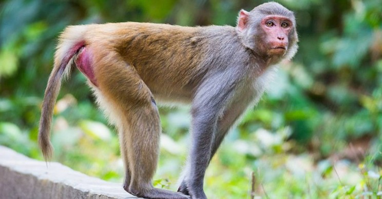 Scientists Add Human Brain Gene to Monkeys, Sparking Ethics Debate
