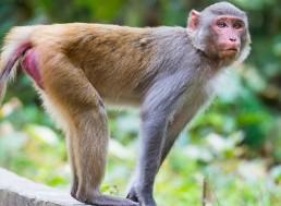 Scientists Add Human Brain Gene to Monkeys, Sparking Ethics Debate