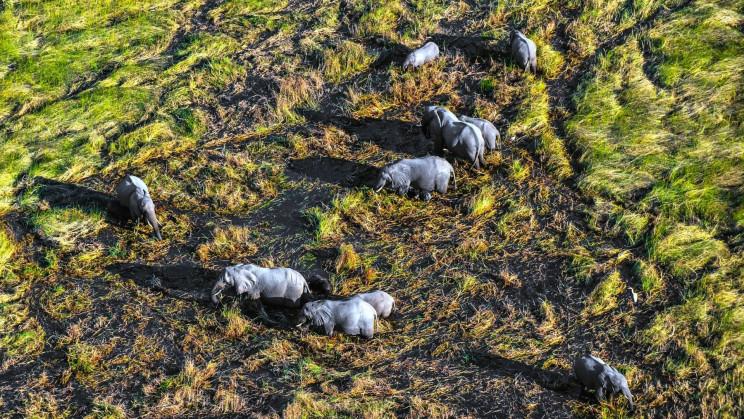 China Uses Drones and Bananas to Guide Wayward Elephants Home