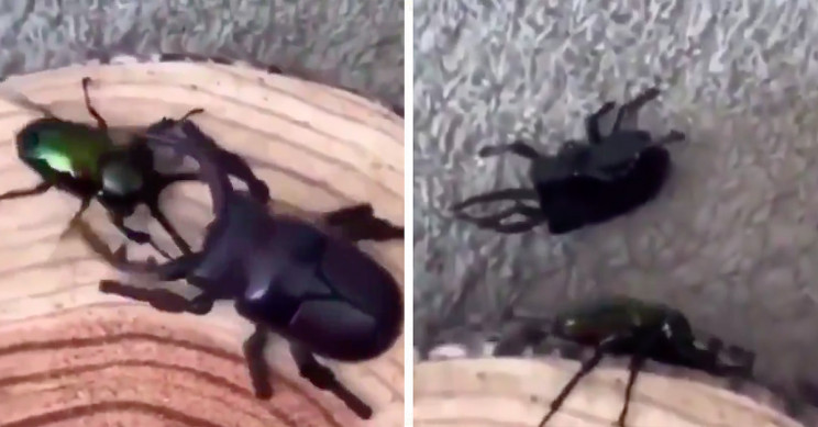 Robotic Beetle vs. the Real Deal, Watch Who Wins This Battle