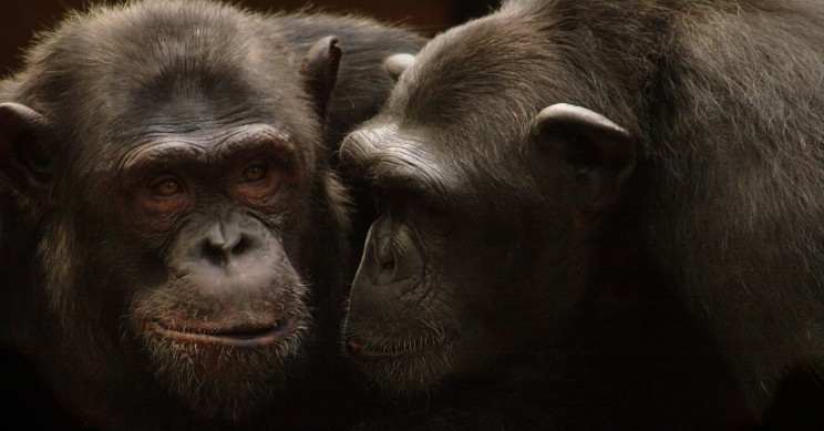 Chimps Throw Stones to Trees, Communicate with the Impact Sounds
