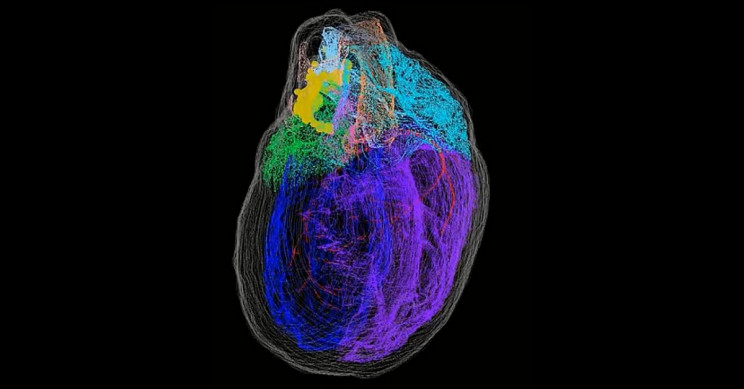 First-Ever 3D Map of the Heart's Neurons