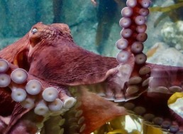 Octopuses Can Move Their Arms and Suckers without Any Brain Signals