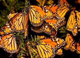 Migratory Monarch Butterfly Populations Are in Rapid Decline