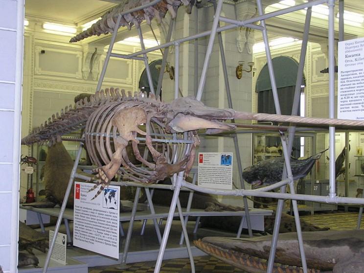 beluga narwhal hybrid skeleton