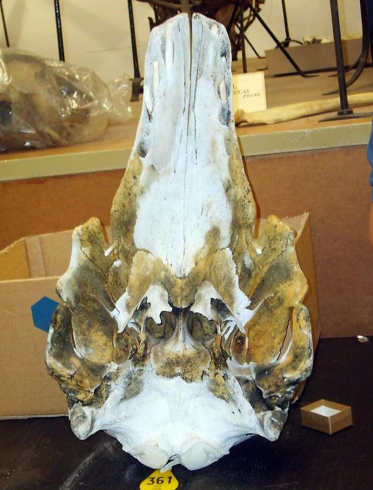 beluga narwhal hybrid skull
