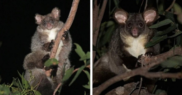 Two New Mammal Species Discovered in Australia