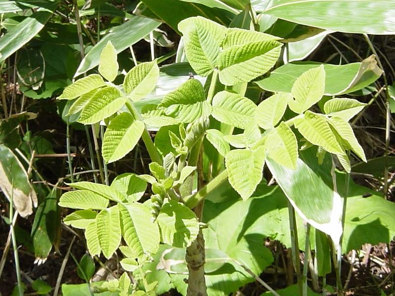 chinese lacquer tree kintsugi