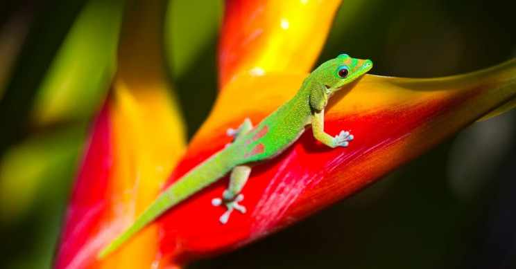 Sticky Gecko Feet May Reveal Secrets of Human Bone Replacements