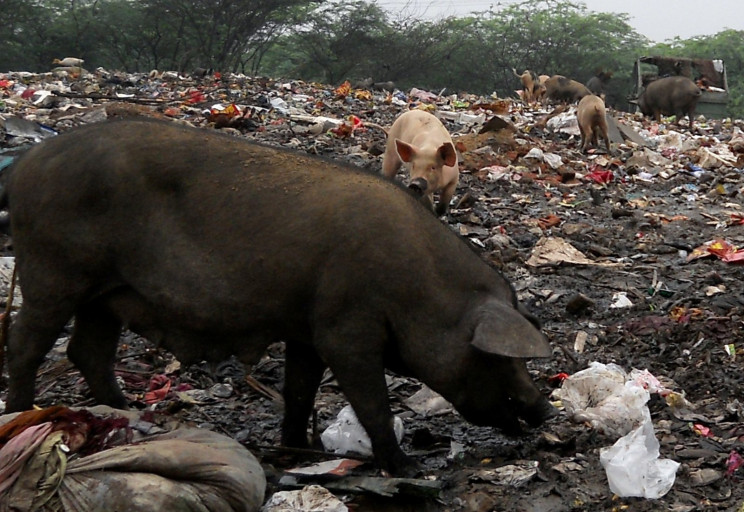 pigs scavenging through trash