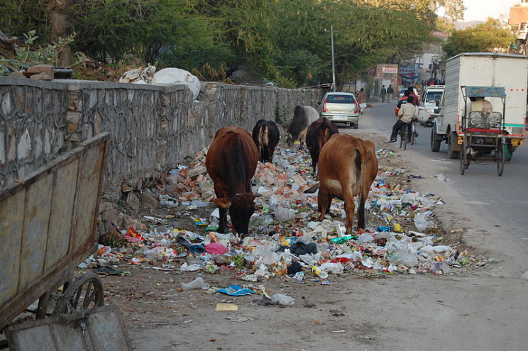 cows eating trash