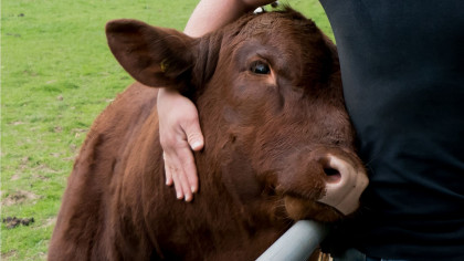 NGO Launches Cow-Cuddling Therapy Center in India