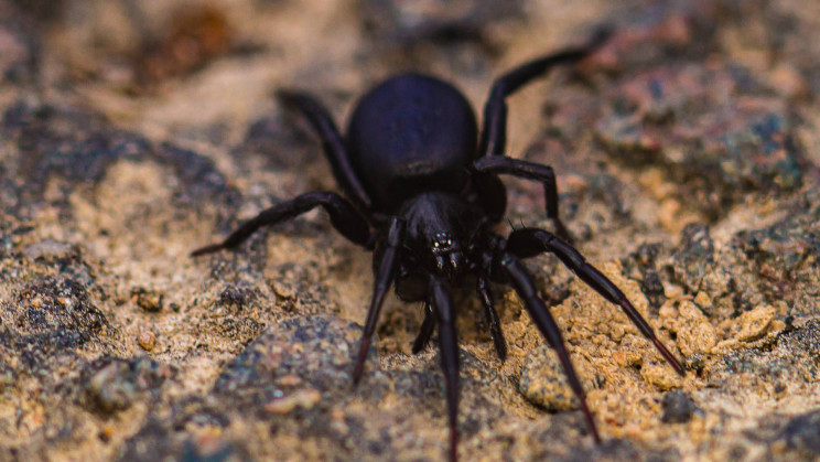 Deadly Spider Venom Could Repair Hearts and May Save Heart Attack Victims
