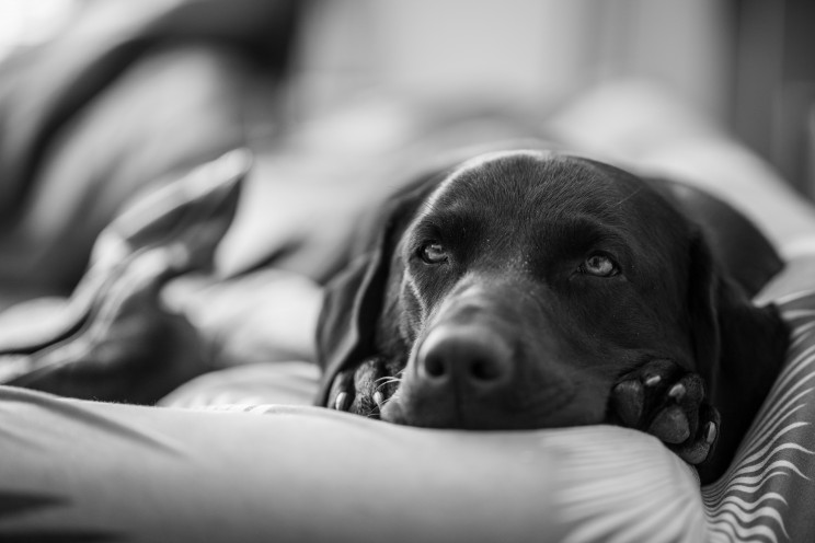 A black and white photo of a labrador dog laying down on a couch.