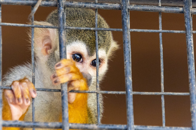A small primate with yellow, white, and grey markings looks out from behind a cage wall.