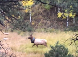 Officers Free Elk From the Tire Around Its Neck After Two Years