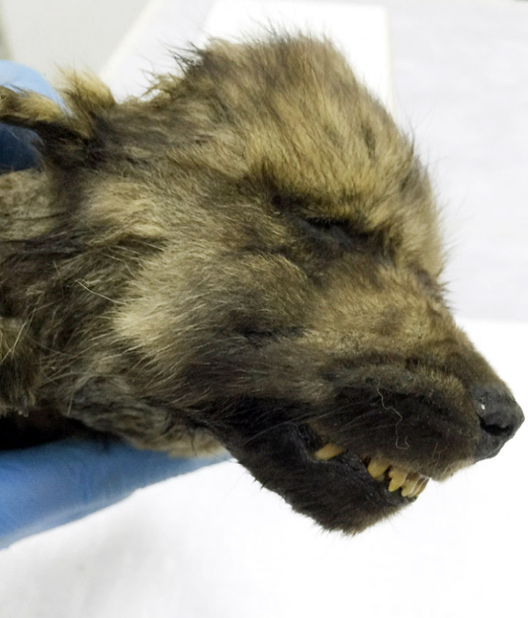 Meet Dogor the 18,000-year-old puppy found in Siberia
