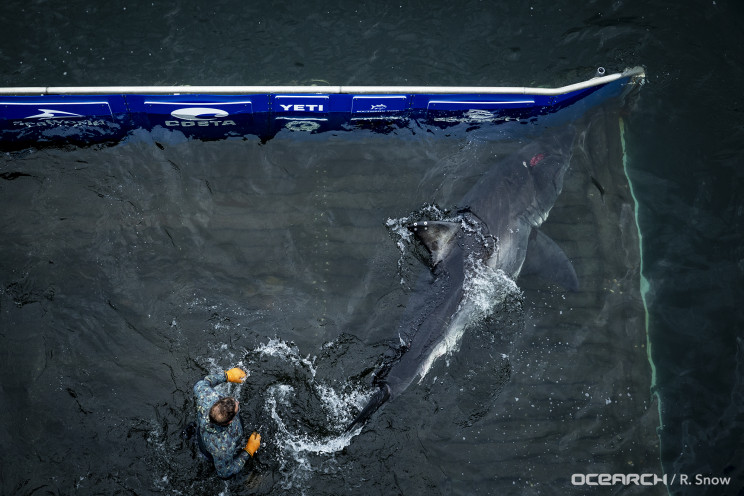 """A Great White Shark Got Bit by Something """"Very Big"""" Experts Say"""