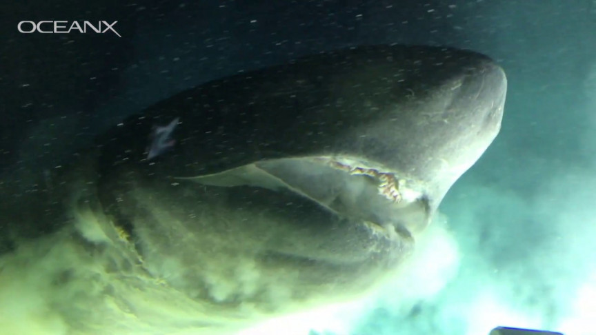 Scientists Get Up Close With Ancient Shark Twice the Size of Their Submarine