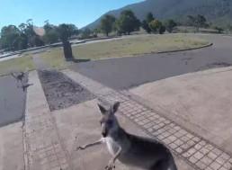 Eager Kangaroo Attacks Paraglider as He Lands