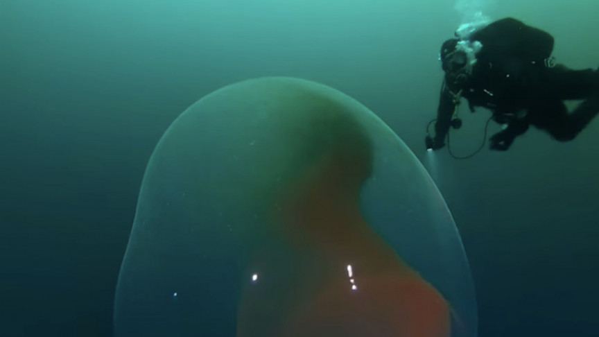 Watch as a Diver Is Dwarfed Swimming Next to a Massive Squid Egg Sac
