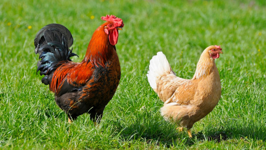 This Video Shows How to Hypnotize a Chicken with Just a Line in the Dirt