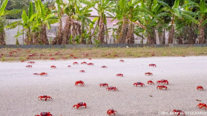 Tires on Christmas Island Vehicles Equipped with Special Shoes That Prevent Squishing Crabs