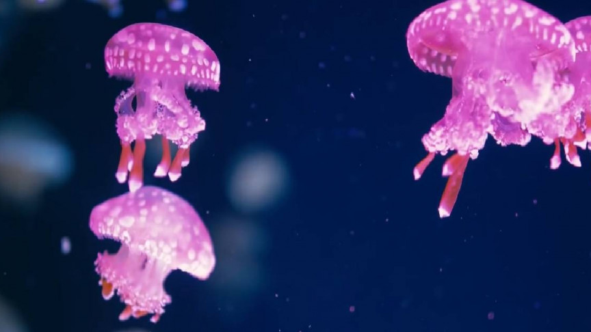 Jellybots Are Ocean-Exploring Biohybrid Robots Made out of Jellyfish