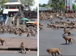 Hundreds of Monkeys Terrorize Thai City in Search of Food Amid Coronavirus Pandemic